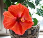 Hibiscus6_1