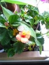 Hibiscus_4